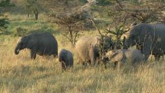 ELEPHANT CALVES IN EARLY MORNING SUN Stock Footage