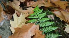 Fern with oak leaves Stock Footage