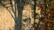 Common beech (Fagus sylvatica) in front of sandstone rocks Stock Footage