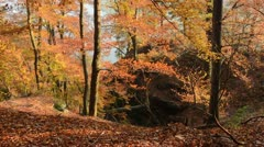 Common beech (Fagus sylvatica) Stock Footage