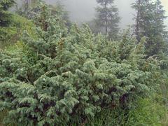 dew bush - stock photo