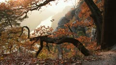 Oak (Quercus) on Bastei Mountain with Elbe River in the background, Saxon - stock footage