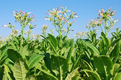 tobacco plant.JPG - stock photo