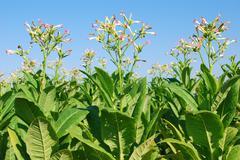Tupakan plant.jpg Kuvituskuvat