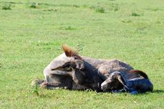 Just born little donkey lying in a pasture.JPG Stock Photos