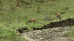 Elk browse by river - stock footage