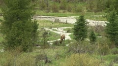 Elk feeding - stock footage