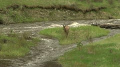 Elk play by a river - stock footage