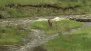Stock Video Footage of Elk play by a river