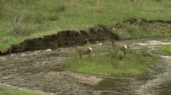 Elk fight for rights to an island.  Loser has difficulty crossing river. - stock footage