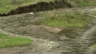 Stock Video Footage of Elk crossing river