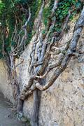 Old plant on stone walls background Stock Photos