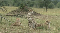 CHEETAH HEAR IMPALA Stock Footage
