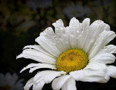 White daisy Stock Photos