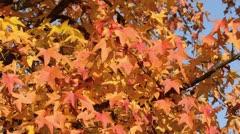 Red gum (Liquidambar styraciflua) Stock Footage