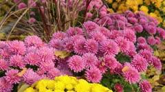 Chrysanthemums (Chrysanthemum) - stock footage