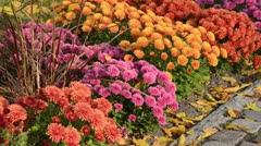 Chrysanthemums (Chrysanthemum) - stock footage