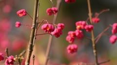 Spindle tree (Euonymus hamiltonianus) Stock Footage