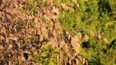 Bamboo grass (Chasmanthium latifolium) Stock Footage