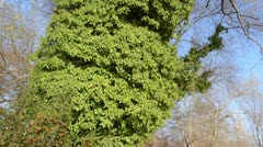 Common ivy (Hedera helix) Stock Footage