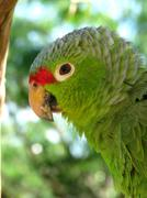 Green Parakeet (HD)c - stock photo