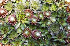sedum arrangement - stock photo