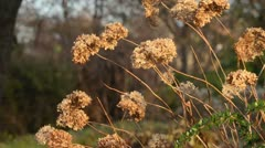 Hydrangea (Hydrangea macrophylla) Stock Footage