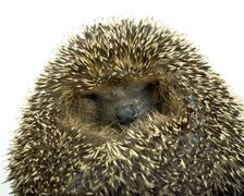Stock Photo of rolled-up hedgehog portrait