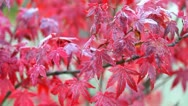 Red foliage Stock Footage