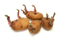 four progrown tubers of a potato - stock photo