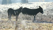 Two donkeys Stock Footage