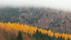 Larch (Larix) yellow forest Stock Footage