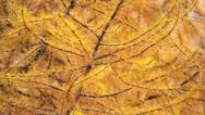 Larch (Larix) yellow autumn foliage Stock Footage
