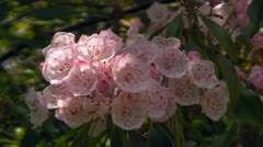 Native Pink Flowers in the Appalachian Mountains Stock Footage