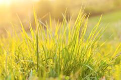 grass and sunlight at sunset in the background - stock photo