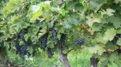 Vineyard Grapes Stock Footage