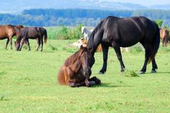 Horse laying.JPG Stock Photos