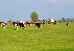 Little farm with cows in pasture.JPG Stock Photos