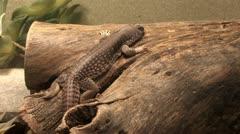 1440 Iguana on a Log Stock Footage
