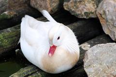 Beautiful mandarin whte duck.JPG Stock Photos