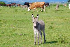 Stock Photo of cute little gray donkey foal.JPG