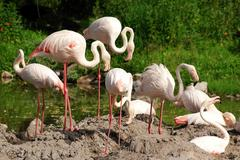Flamingo flock.JPG Stock Photos