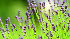 Lavender - stock footage