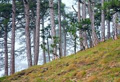Summer misty pine forest on hill Stock Photos