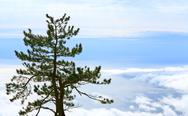 Stock Photo of pine tree