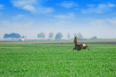 deer jumping over green wheat field.JPG - stock photo
