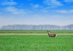 roebuck standing in green wheat field.JPG - stock photo