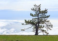 Stock Photo of pine tree