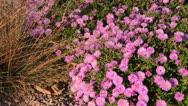 Prairie dropseed (Sporobolus heterolepis) and bushy aster (Aster dumosus Stock Footage