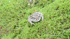 Macro garlic spadefoot toad pelobates fuscus moss Stock Footage